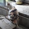 三毛猫おしとやかキキちゃん避妊済み サムネイル3