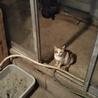 三毛猫おしとやかキキちゃん避妊済み サムネイル4