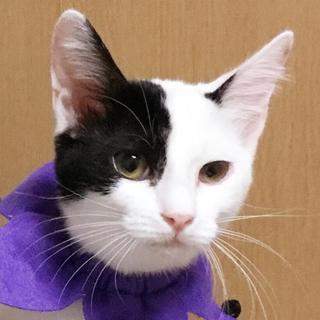 人馴れ★美猫な白黒個性的柄★ピノコちゃん