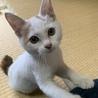 人懐こい三毛ちゃんぽくない三毛の子猫
