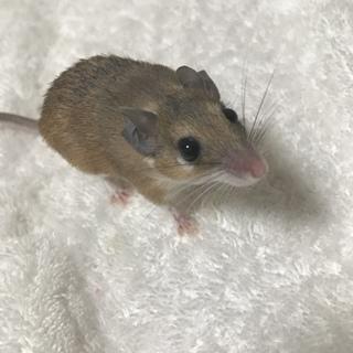 カイロトゲマウス 4匹