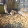 砂ネズミ  カラージャービル   サムネイル2
