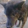 甲斐犬です ほとんど吠えない静かな犬です サムネイル4
