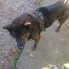 甲斐犬です ほとんど吠えない静かな犬です サムネイル5