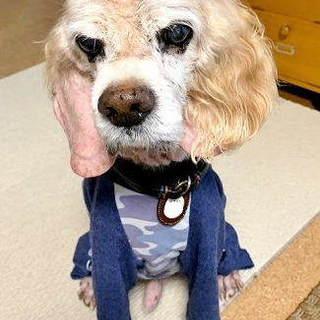 穏やかなシニア犬コッカーのショーンです。