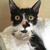 おっとり控えめハチワレ子猫メス