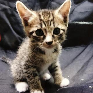三毛猫?サバトラ?のオスです。