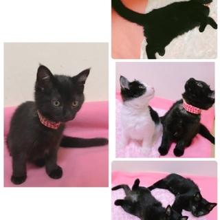 かわいい黒猫の女の子の里親募集です。
