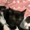 かわいい黒猫の女の子の里親募集です。 サムネイル3