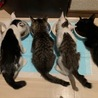 外猫が産んだ可愛い仔猫---A.イケメンのイチロー サムネイル3