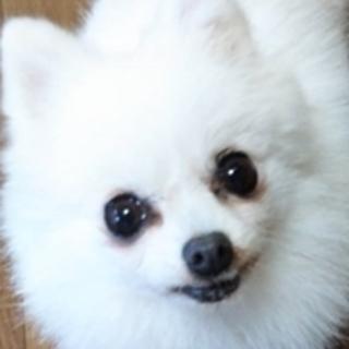 保護犬ナンバーD1292 ポメラニアン
