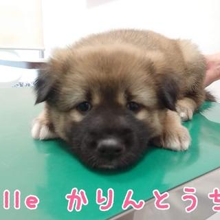 雑種の子犬 かりんとうちゃん☆ 里親様募集!