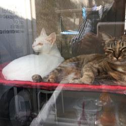 タイラ君と大福君が居なくなった今朝の窓ぎわ猫。