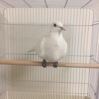 銀鳩の里親になって下さる方を探しています。