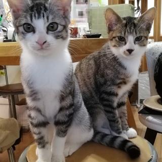 兄弟子猫2匹(1匹または両方可)
