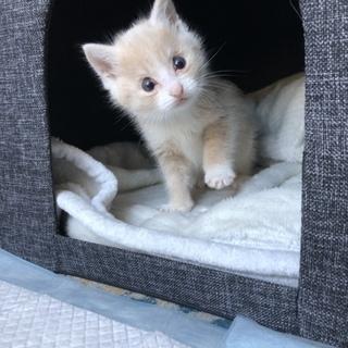 クリーム色の可愛い子猫