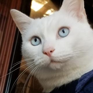 【動画あり!】ブルーアイのモフモフ白い男の子
