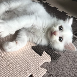 長毛白猫しらたま、2ヶ月人馴れ抜群甘えん坊