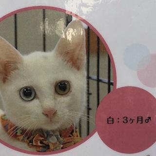 オッドアイ!白猫 雄 生後4ヶ月くらい