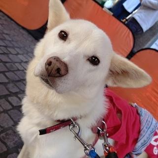 真っ白★小さめ中型犬★甘えっこ★楓ちゃん