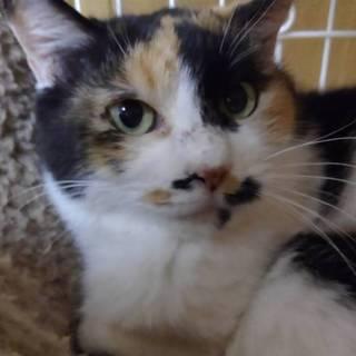 丸顔が可愛い三毛猫の女の子〝ミィミィちゃん〟です♪