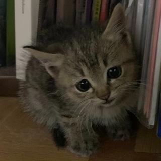 ☆超Cute可愛いキジトラ 女の子 ナオミちゃん☆