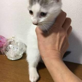 可愛い白キジ男の子 里親さん募集中!!