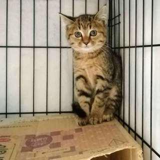 ころころキュートなキジ子猫‼
