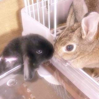 ウサギ2羽の里親募集