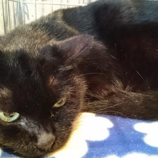 ずんぐり甘えん坊黒猫ブラパンさん!