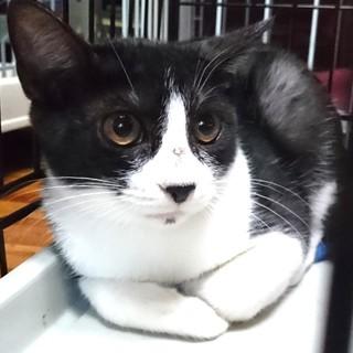 遊ぶの大好きハチワレ子猫リクーさん!