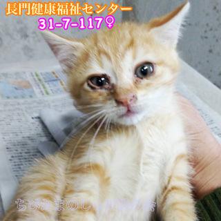 茶トラ子猫女の子 ファミリーで収容(TT)117