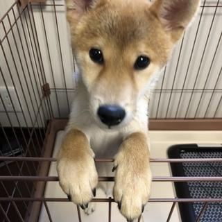 元気で人懐こい柴犬の子犬です!