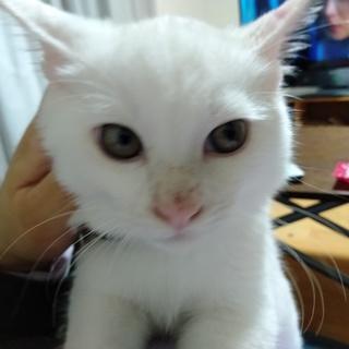 人懐っこい白猫♂4ヶ月