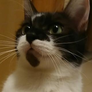 穏やかな牛柄猫 べこちゃん❤️二歳