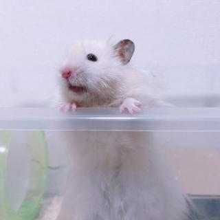真っ白な長毛のゴールデンハムスター