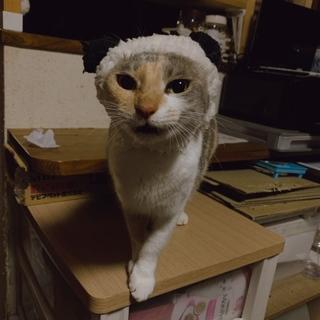 パステル三毛のるいちゃん♀