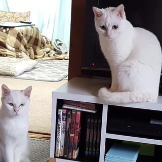 ビビリな真っ白猫さん