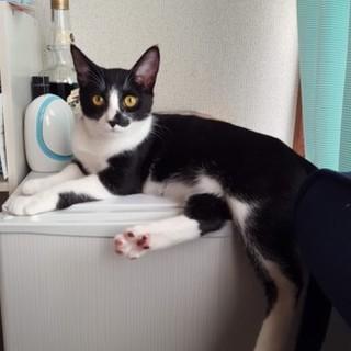 白黒ハチワレ猫