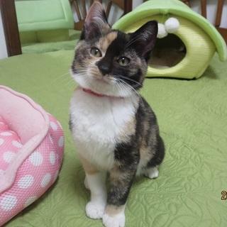 11/24銀座★ピカちゃん★まん丸もっちり子猫