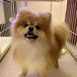 里親募集☆人懐っこいポメラニアン(超小型成犬)