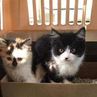 子猫 生後1〜3ヶ月 ミケ2匹 ハチワレ1匹
