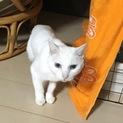 真っ白シニア猫「くるちゃん」決まりました!