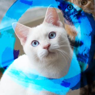 猫初心者向けシャムMIX♡ナザル7ヶ月♂ベタ慣れ
