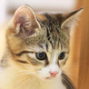 抱っこでゴロゴロが止まらない♡美形の三毛猫ピリカ サムネイル4