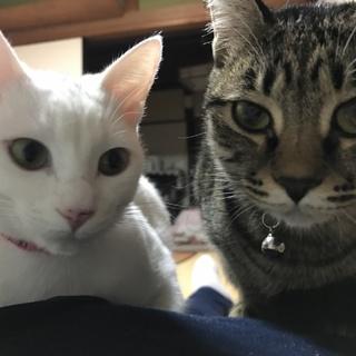 姉妹猫  3歳 女の子