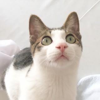 5月生まれの子猫 末っ子男子 トフィー♂