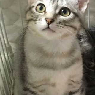 まんまる顔のまる君・サバトラ♪コロコロ仔猫♪4ヶ月