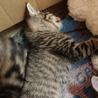 【4匹兄妹の仔猫です】トラ柄の男の子 サムネイル2