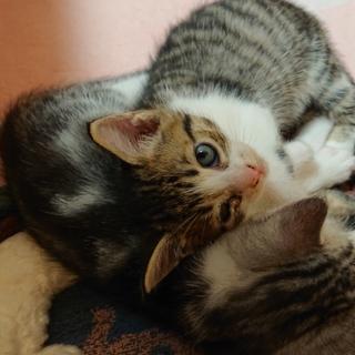 【4匹兄妹の仔猫です】トラ柄の白い女の子